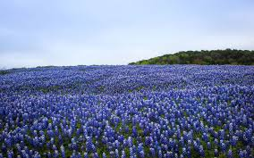 photos of texas bluebonnets travel leisure