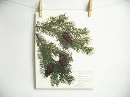 douglas fir tree douglas fir tree print 186 oregon branch with cones
