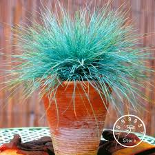 aliexpress buy promotion 100 pieces pack blue fescue grass