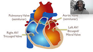 External Heart Anatomy The Anatomy Of The Heart Youtube