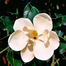 magnolia tree trees trees u0026 bushes the home depot