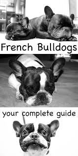 french bulldog a complete guide the happy puppy site