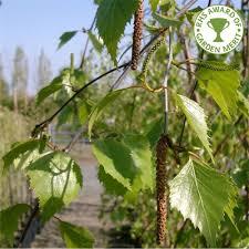 betula pendula tristis weeping silver birch trees