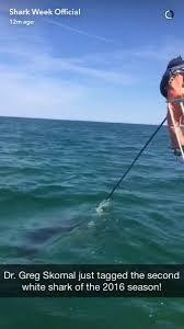 dr skomal w awsc just tagged 2nd white shark of u002716 off cape