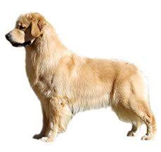 american eskimo dog vs pomeranian compare golden retriever vs pomeranian difference between golden