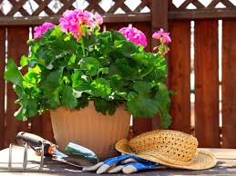 how to bring a dead plant back to life prune and deadhead your geraniums diy