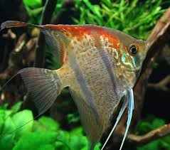 Aquascape Fish 300 Best Tropical Fish Images On Pinterest Tropical Fish