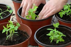 Eggplant In Container Garden Best Times To Grow Vegetables In Containers Harvest To Table
