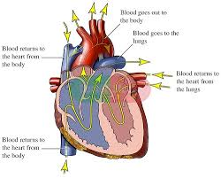 Diagram Heart Anatomy Blank Heart Diagram Free Download Clip Art Free Clip Art On
