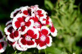 sweet william flowers sweet william dianthus barbatus grower direct fresh cut