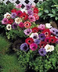 anemones flowers anemone flower gardens for everyone plant flowers perennials bulbs