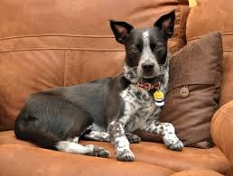 australian shepherd cattle dog mix 129 best spirit and friends the australian cattle dog images on