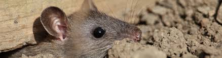 rodent control and prevention wildlife removal services