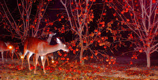 buy persimmon trees for deer the wildlife