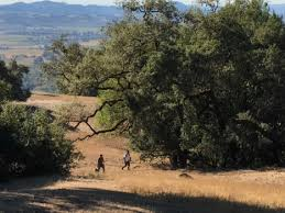 wine country wildfires spur oak replanting project