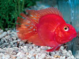Buy Ornamental Fish Ornamental Fish Parrot Fish Wholesaler From Kolkata