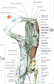 biceps femoris anatomy images learn human anatomy image