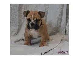 bluetick coonhound breeders indiana bluetick coonhound puppies petland olathe kansas city