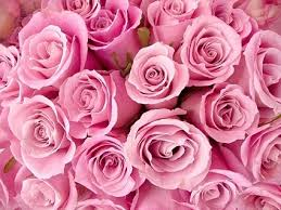 pink and roses pink flowers images free stock photos 12 789 free