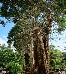 image the most unique expensive ornamental trees at saigon s