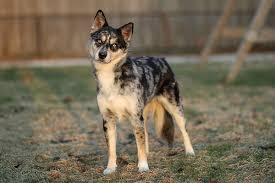 australian shepherd and husky mix aussie siberian australian shepherd x siberian husky looks just