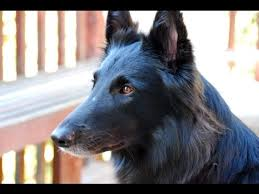 belgian sheepdog groenendael breeder belgian shepherd dog groenendael dog breed youtube
