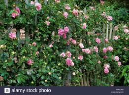 rosa u0027chaplin u0027s pink climber u0027 pink climbing rose fan shaped