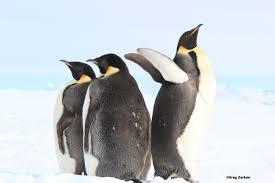 emperor penguin gregontheice