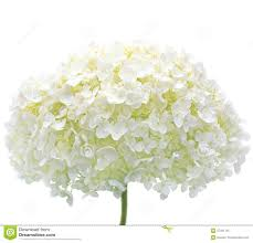 hydrangea white white hydrangea flower isolated closeup mophead stock image