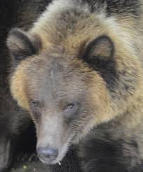 st louis zoo gives peek at new grizzly bear home culture club