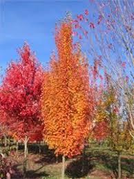 31 best columnar trees schrubs images on garden