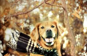 Wallpaper Dog 30 Hd Golden Retriever Dog Wallpapers Hdwallsource Com