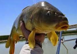 cara membuat umpan mancing ikan mas harian resep umpan ikan mas umpan ikan mas galatama umpan ikan mas harian