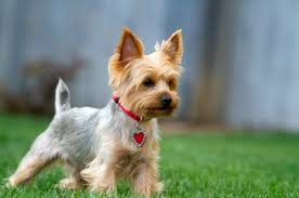 pictures of puppy haircuts for yorkie dogs yorkshire terrier puppies breeders training and pictures
