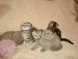 scottish fold golden silver marble lilac and blue in hoobly
