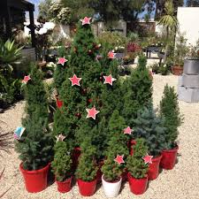 potted christmas trees bells beach nursery