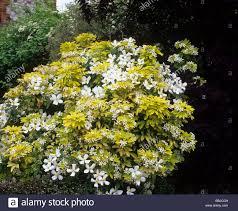 spring flowering shrub choisya ternata sundance yellow foliage with