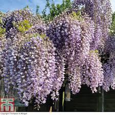 wisteria sinensis u0027prolific u0027 thompson u0026 morgan