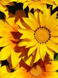 foto wallpaper bunga matahari gambar menanam daun bunga musim gugur kuning flora bunga