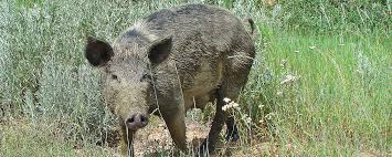 avoiding problems feral pigs north dakota game fish