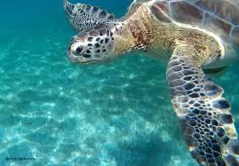 imagenes tortugas verdes akumal y las tortugas verdes nunca sin viaje