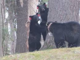 bear family makes its home in avon backyard fox 61