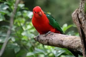 australian king parrot birds in backyards