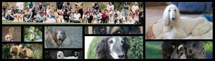 afghan hound calendar 2015 lost u0026 found afghan hound club of america u2013 national rescue