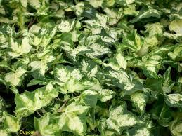 online plant guide hedera helix u0027kolibri u0027 kolibri english ivy