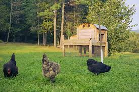 raising backyard chickens for eggs a beginners guide farmers