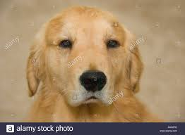 portrait of unhappy golden retriever dog stock photo royalty free