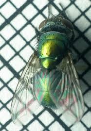 Flies In Backyard Greenbottle Fly The Backyard Arthropod Project