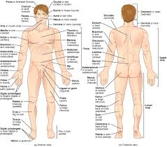 anatomical terminology anatomy and physiology i