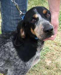 bluetick coonhound name origin bluetick coonhound dogs breeds pets